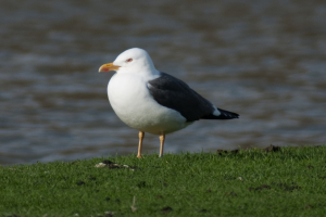 Lesser Black-Backed Gull?