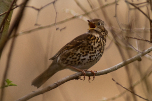 Song Thrush in song