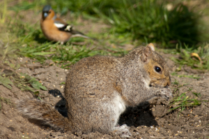 Grey squirrel steals the limelight .... and the seed