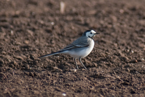 Which Wagtail?