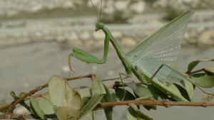 Unidentified Mantis in Croatia