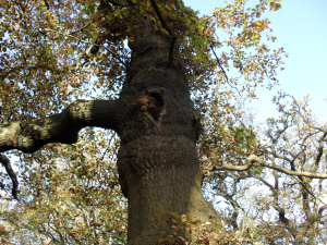 Oak tree on Hampstead Heath