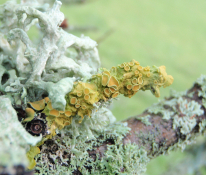 Golden Shield foliose lichen