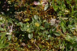Hairy leaved plant on Braunton Burrows