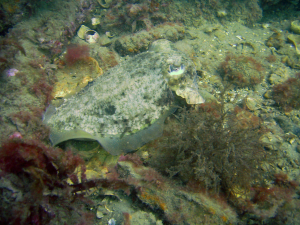 Common Cuttlefish  - Far Mulberry