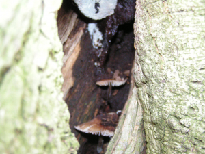 brown cupped fungi growing inside a living oak tree