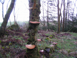 Interesting fungi brackets on silver birch alive and dead