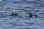 tufted ducks as well?
