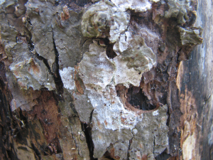 White/Grey Crustose Lichen