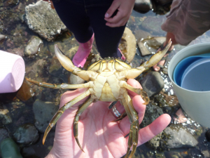 Common shore crab (male)