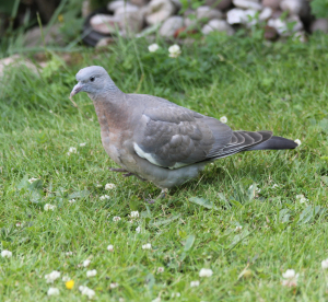 Woodpigeon  (Young)
