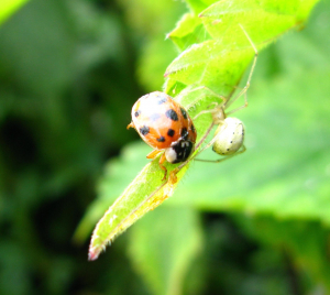 Ladybird in trouble
