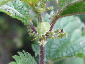 Green Shield Bug (Nymph)