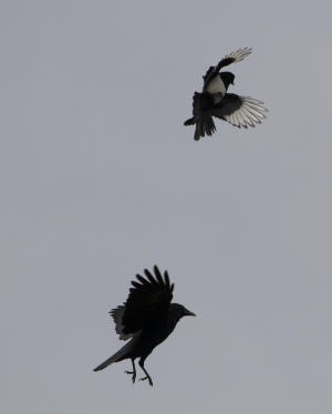 Carrion Crow and Magpie