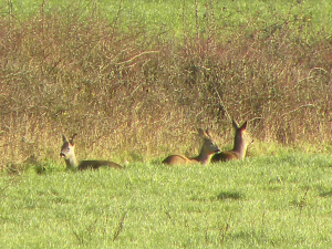 Three Female Roe Deer Enjoying the Sun