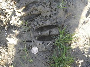 Probably Roe Deer Tracks