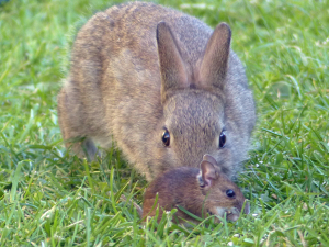Rabbit/Wood Mouse interaction.