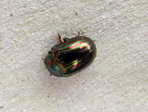 Rosemary leaf beetle