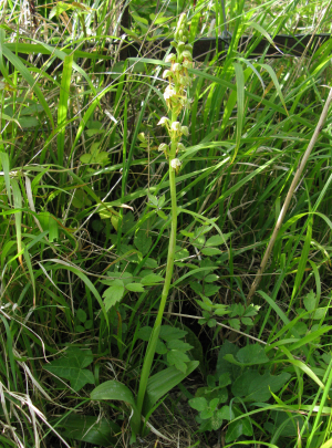Man Orchid