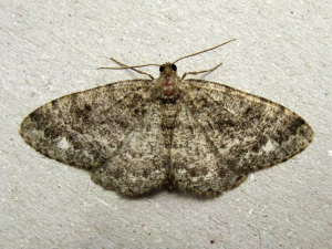 Brindled White-spot