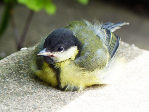 Baby Great Tit - Part IV.