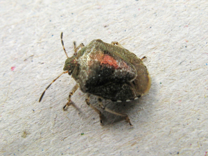 Woundwort shieldbug