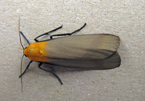 Four-spotted Footman
