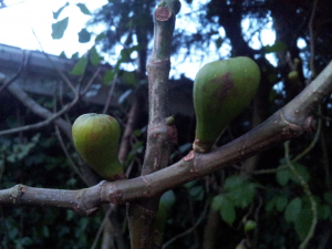 figs maybe??