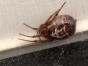 False Widow? - Spider in conservatory
