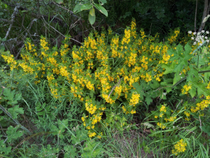 Yellow loosestrife?
