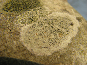 Whitish crustose lichen