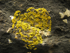 Yellow, beach lichen
