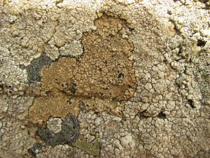 Light-brown lichen