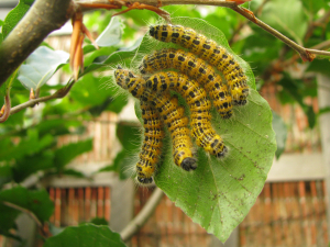Caterpillars on beech