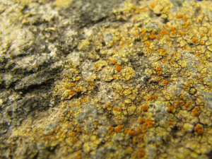 Crustose lichen on concrete path