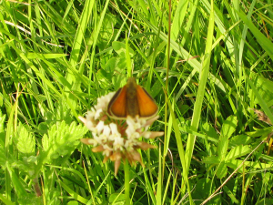 Orange-brown butterfly