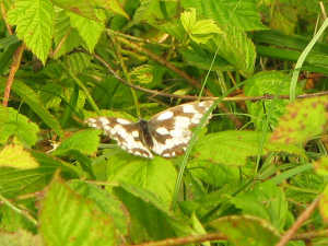 White and dark winged butterfly