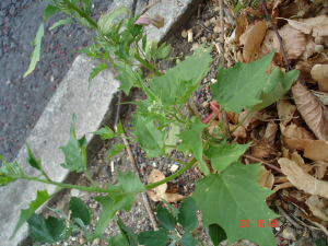 Maple-leaved Goosefoot?