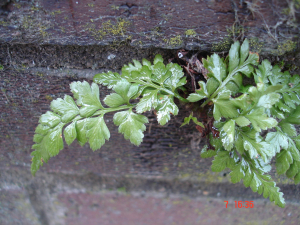Another Black Spleenwort?