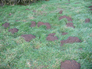 Mole hills in field