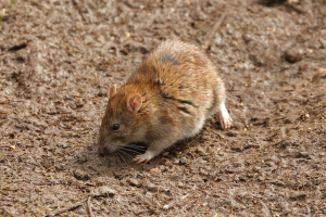 Common / Brown Rat