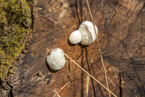 False Puffball Slime Mould