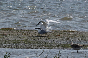 Sandwich Terns