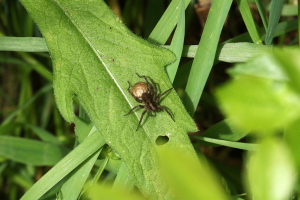 Wolf spider and egg sac