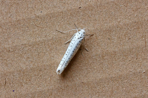 Bird-cherry Ermine