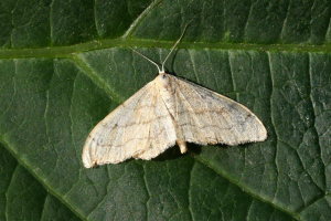 Riband Wave (non-banded form)