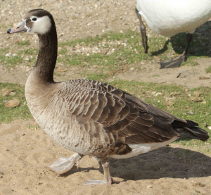 Unknown Goose Hornsea