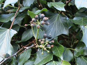 English_Ivy_with_berries