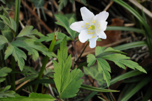 Wood Anemone in Stoke Woods?