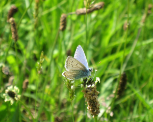 Common Blue?
